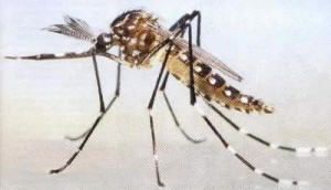 aedes3
